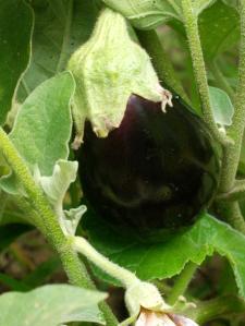 website eggplant